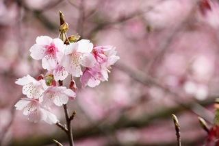 Canon拍櫻花